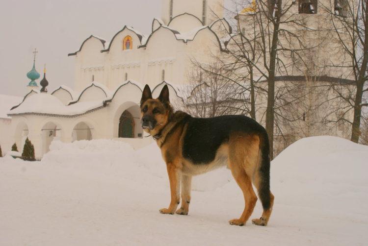 Собака рядом с церковью